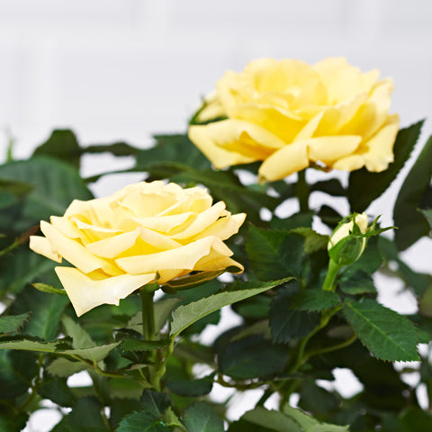 Close up of a Yellow Rose Potted Plant - delivery of plants - yellow rose bush