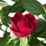 Red Potted Rose Plant Delivery - Plants - Postabloom Flower delivery app