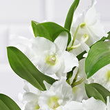 White Dendrobium Orchid - Plants - Postabloom Flower delivery app