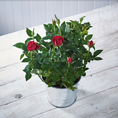 Red Rose Bush Plant