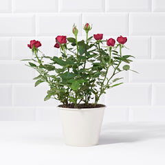 Wide shot of Potted Red Rose Plant - delivery of plants - red rose bush