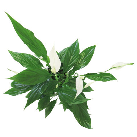Peace Lily Plant Delivery