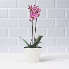 Dark Pink Phalaenopsis Orchid - Plants - Postabloom Flower delivery app