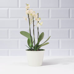 White Phalaenopsis Orchid - Plants - Postabloom Flower delivery app