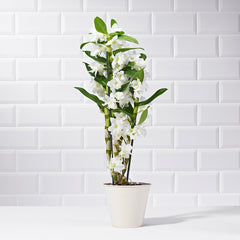 Wide shot of a potted white dendrobium orchid - plant delivery