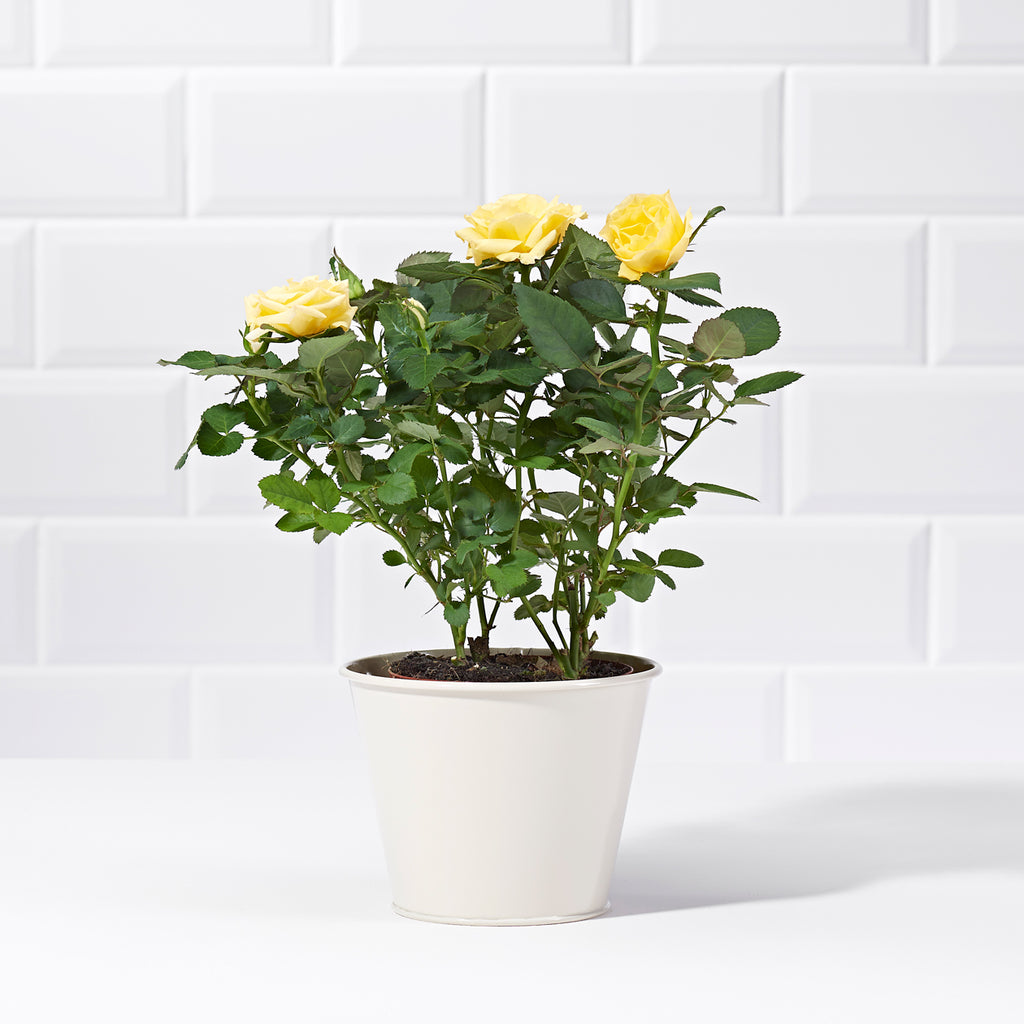 Yellow rose bush plants delivered uk postabloom yellow potted rose mightylinksfo
