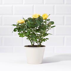 Wide shot of a Yellow Rose Potted Plant - delivery of plants - yellow rose bush