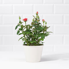 Wide shot of an Orange Rose Potted Plant - delivery of plants - orange rose bush