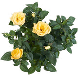 Yellow Potted Rose Plant Delivery