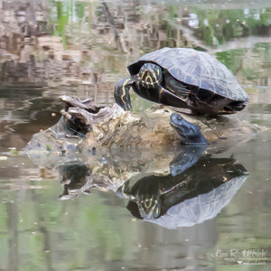 The turtle and the eel at Nomahegan Park