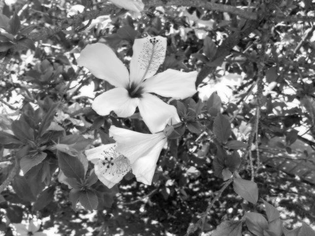 California Hibiscus BW 640