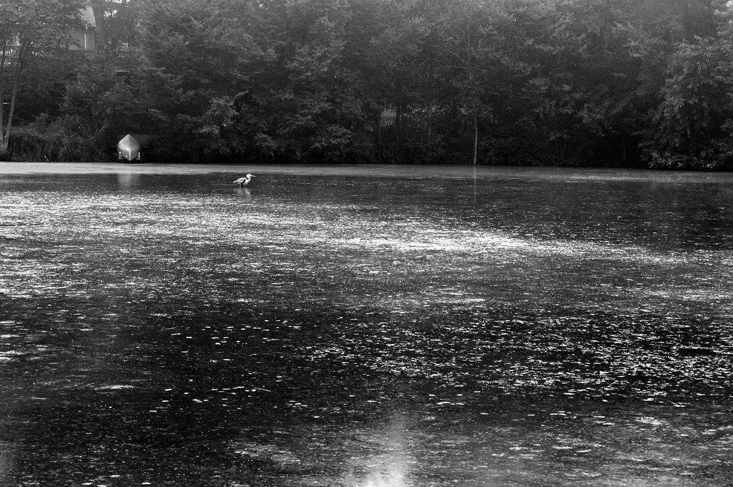 Great Blue Heron_bw ProPhoto