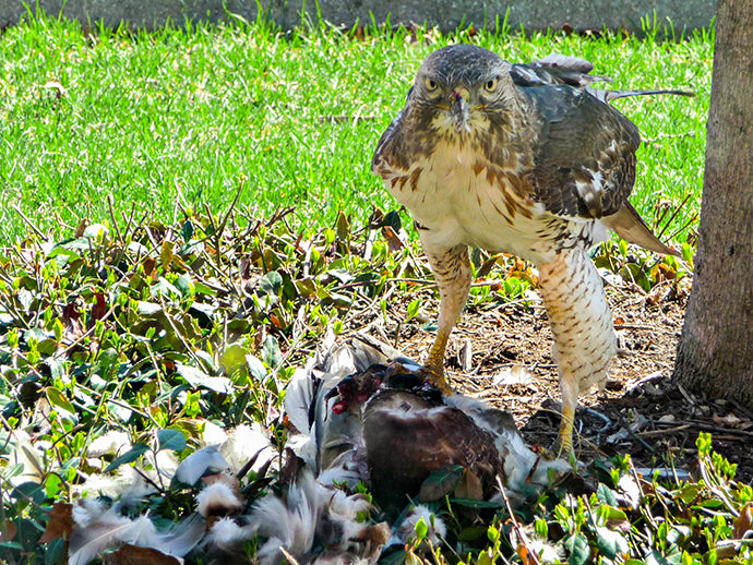 Hawk's Deadly Watch - National Wildlife Federation Photo Contest
