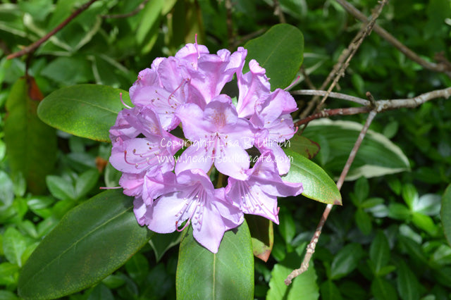 Rhododendron 640
