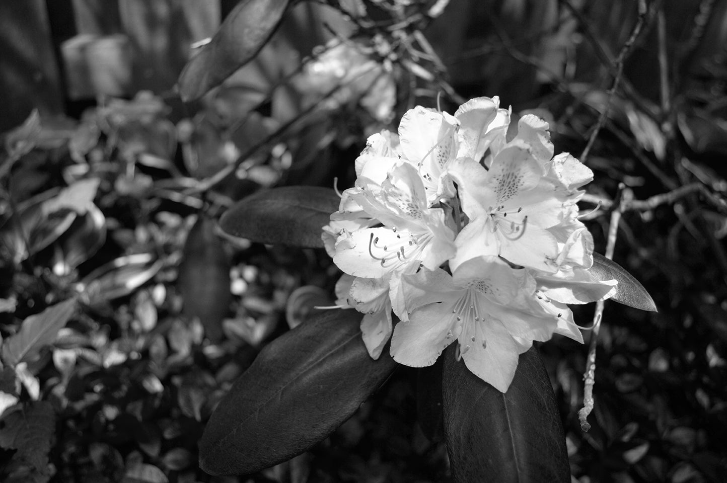 Rhododendron BW ProPhoto