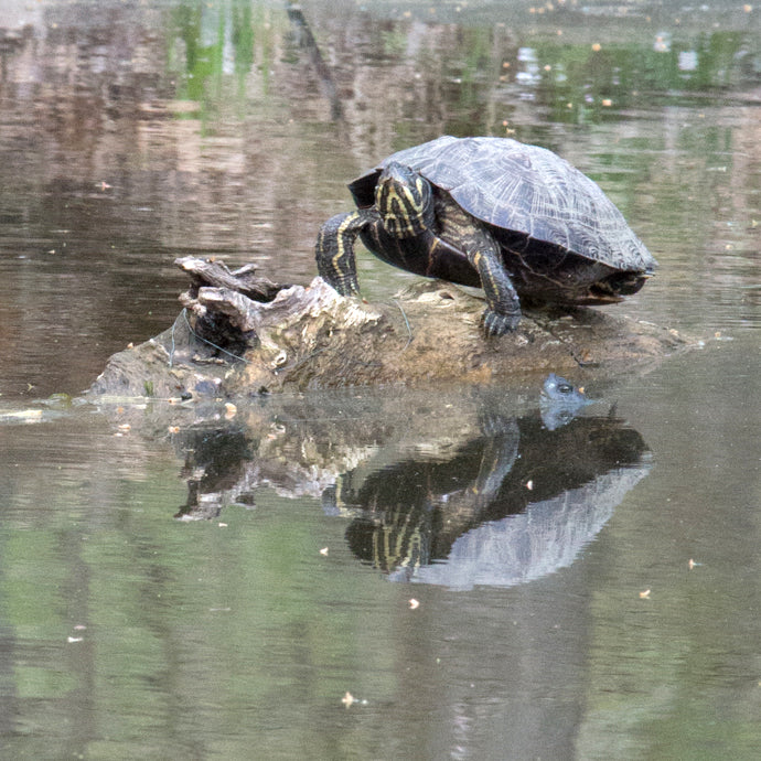 The turtle and the eel at nomahegan park 1
