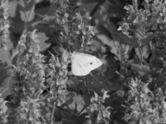 White on Purple Sage BW 640