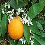 Orange and Orange Blossoms