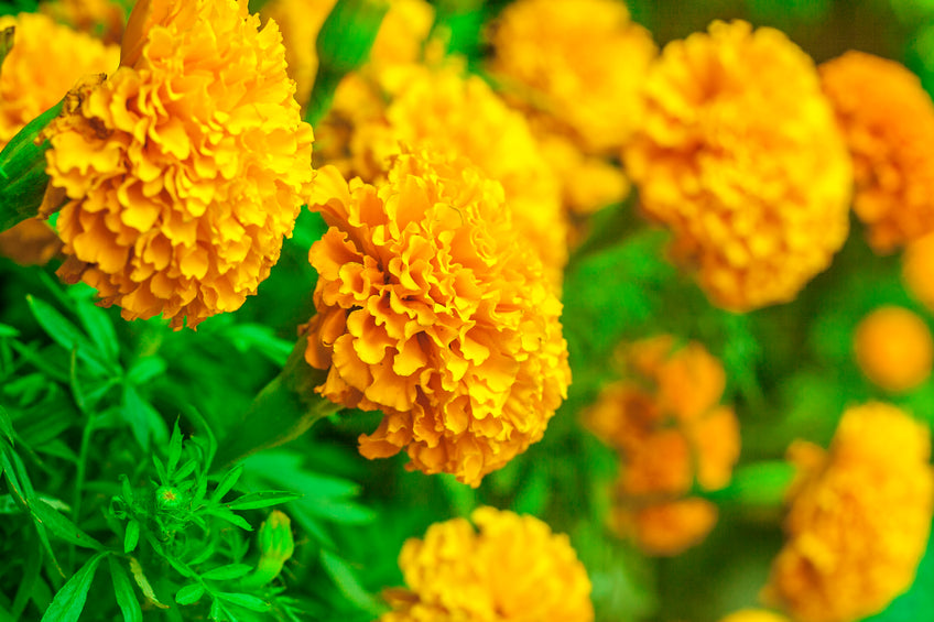 Marigold Flower Extract