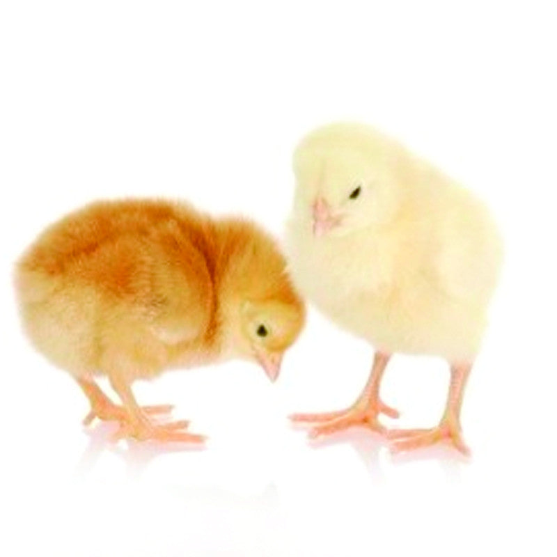 Pair of Chicks