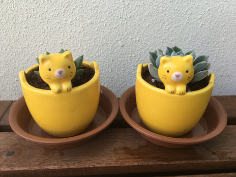 Succies in Cute Pots