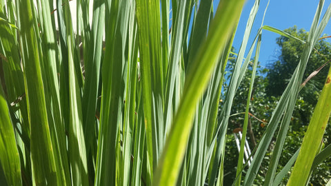 Crafting Magick Tip: Lemongrass Spiritual Floor Cleanse