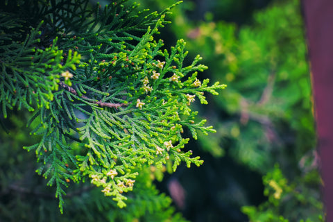 Cedar Herb, Sacred Plant to Cleanse Your Energy, The Witch's Guide