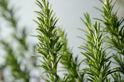 Rosemary Herb, Sacred Plant to Cleanse Your Energy, The Witch's Guide