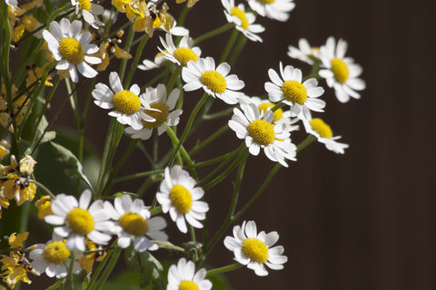 Chamomile for Beauty Rituals