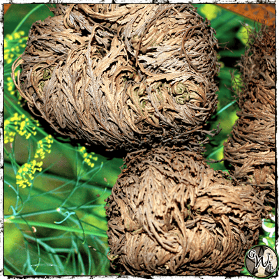 ROSE OF JERICHO | Resurrection, Beginnings