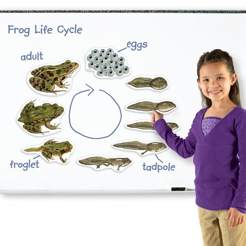 Giant Magnetic Frog Life Cycle|Grand cycle de vie magnétique - grenouille