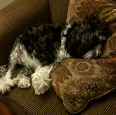 Vogue, Gianina's dog, exhausted on the couch.