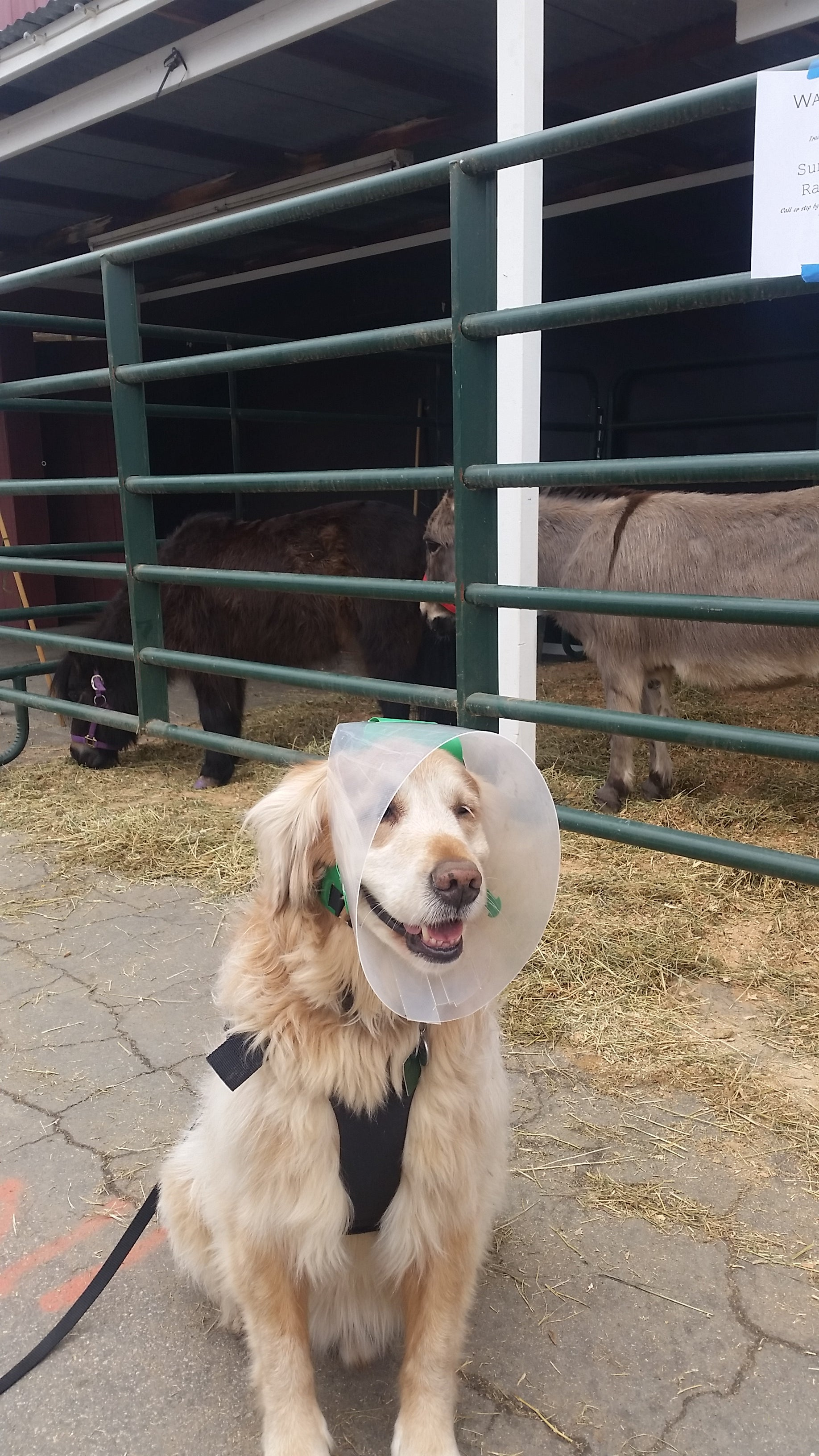 Marley watching the farm in his NovaGuard Recovery Collar