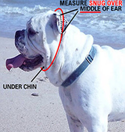 Short Snout Measurement Over the Middle of the Ear