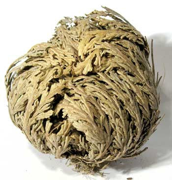 Jericho Flower - Rose of Jericho (1 flower)