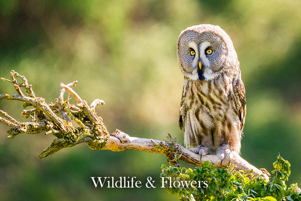 Wildlife & Flowers Gallery - A selection of wildlife and floral images including Barn Owls, Tawny Owls, Horses, Seals and Bees
