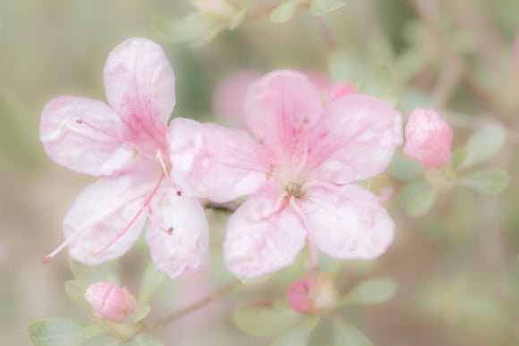 'Pretty in Pink' - Soft Focus Pink Flowers