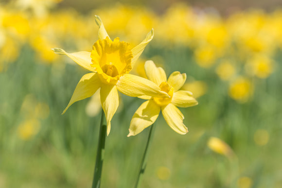 'Field of Gold' - Soft Focus Daffodil Flowers