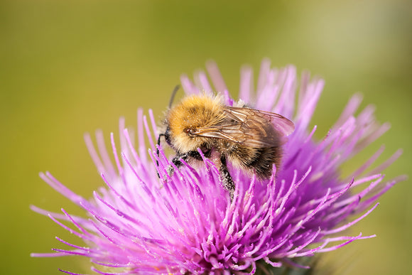 'The Thistle and Bee' - Bumble Bee on Flower