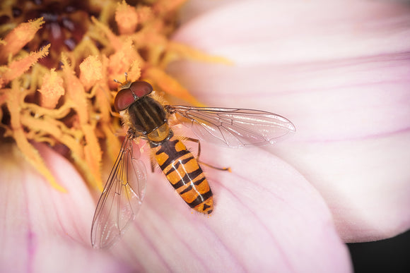 'A Dahlia Day' - Hoverfly on Flower