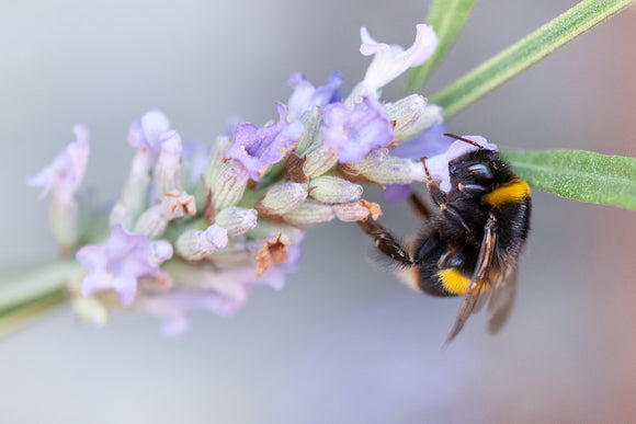'A Lavender Lunch' - Bumble Bee on Flower