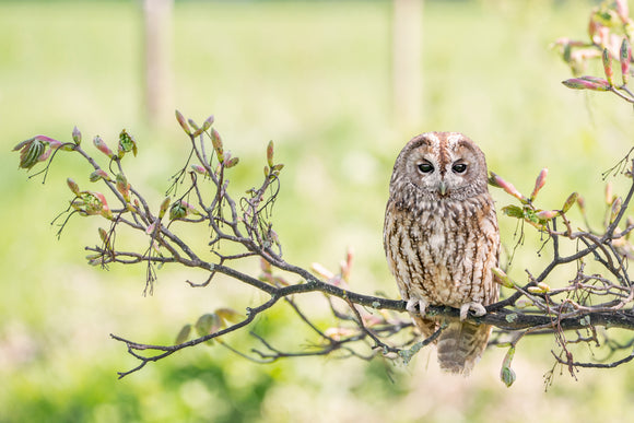 'I See You' - Tawny Owl on a Branch