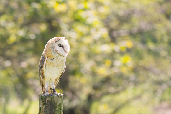 'I Spy' - Barn Owl on Fence Post