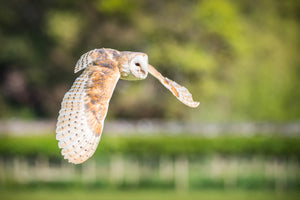 'Flying Free' - Barn Owl in Flight