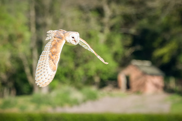 'Across the Fields' - Barn Owl in Flight
