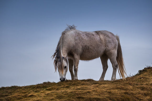 'In The Wild' - Pony on Llanddwyn Island