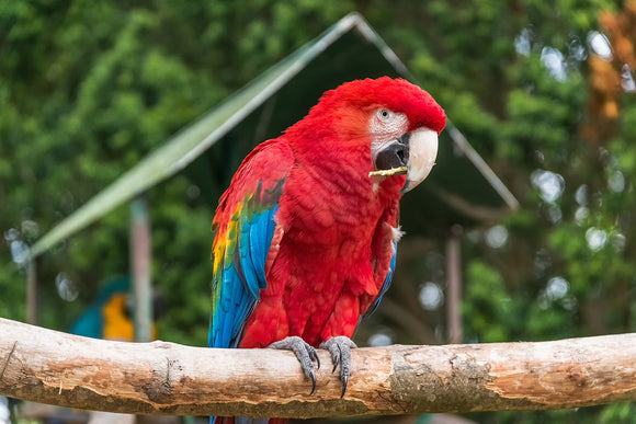 'Pretty Polly' - Scarlet Macaw