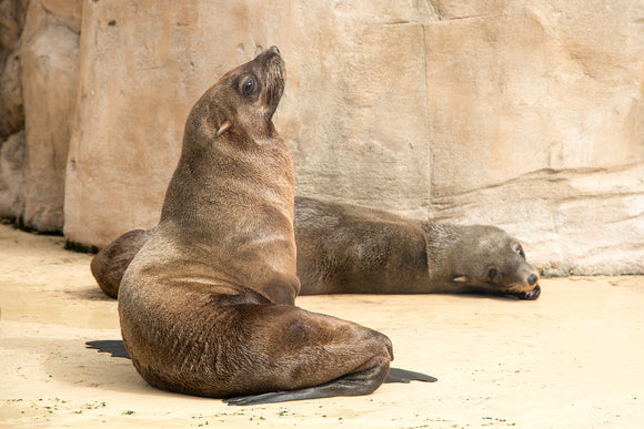 'Sunbathing' - Sea Lion Siesta