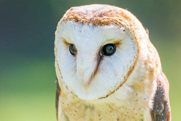 'Portrait No. 1' - Barn Owl