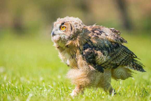 'I'm Off' - Young Owl on Grass
